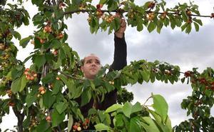 Las primeras cerezas del Valle del Jerte llegan tarde a los mercados