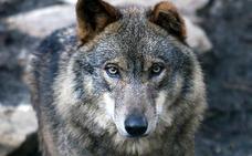El difícil regreso del lobo a Extremadura
