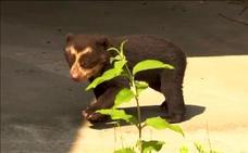 Un oso de anteojo recién nacido causa sensación en el zoo de Amberes