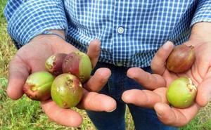 El consejo agrario de Extremadura hará el martes un balance por los daños de las tormentas