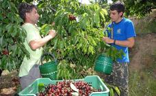 Los habitantes del Jerte compartirán su pasión por la cereza con los turistas