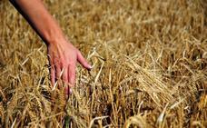 Cooperativas Agro-alimentarias prevé una cosecha extremeña de cereales de 1.175.200 toneladas