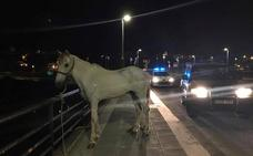 Localizan un caballo suelto por el puente de la Autonomía