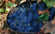 La DO Ribera del Guadiana certifica esta vendimia «una de las mejores cosechas», con 13 millones de kilos de uva