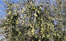 Los agricultores confían en que la aceituna de almazara compense la «campaña nefasta» de verdeo