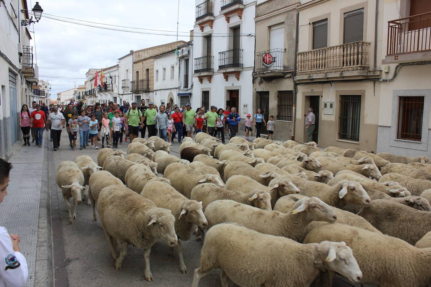 La ruta trashumante de Casar de Cáceres sigue ganando popularidad tras 14 años de celebración
