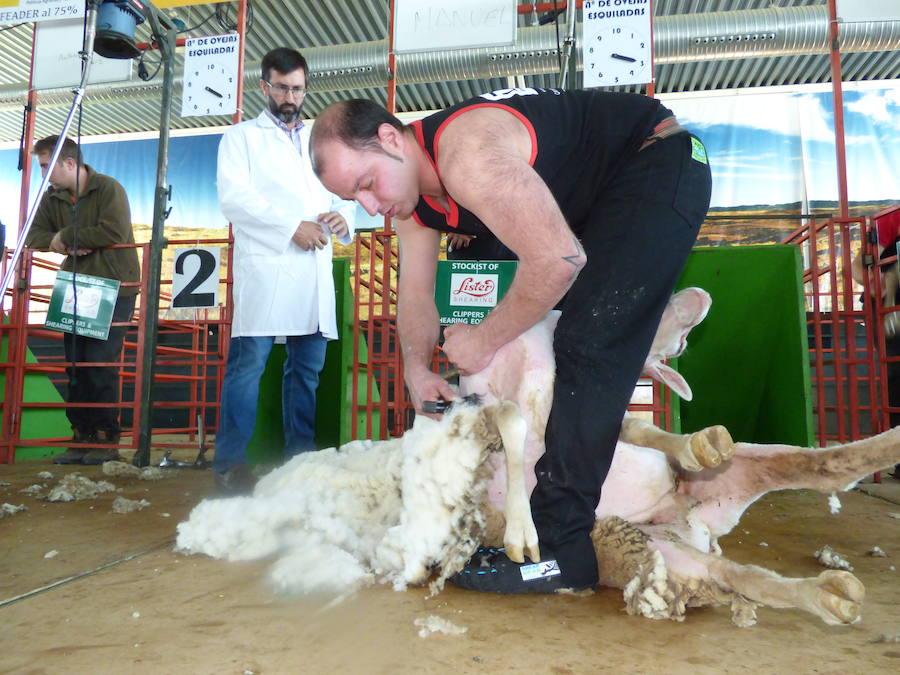 El esquilador de Cabeza del Buey, Manuel María Calvo, se proclamó campeón de España de esquileo de ovejas merinas