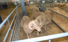 La 34 Edición General del Salón Ovino de La Serena acogió los concursos morfológicos de ganado selecto de la raza Merina y de las razas de Ovinos Precoces