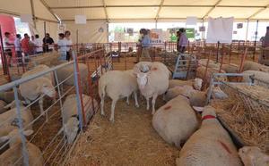 El tradicional rodeo de ganado ovino volvió a la feria de Castuera