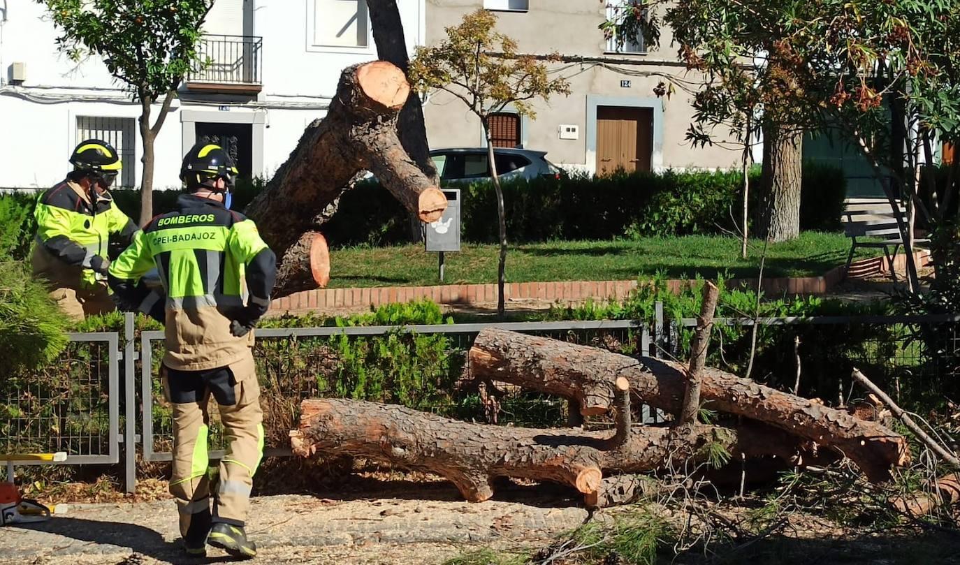Los bomberos retiran un pino desplomado en el parque de la calle Calvario