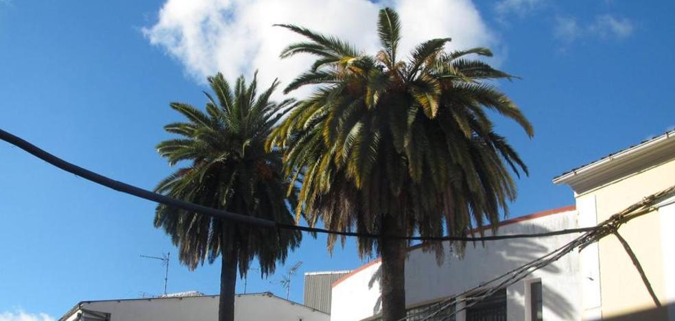 El picudo rojo ataca a una de las palmeras de la Casa de la Cultura, centenaria y emblemática