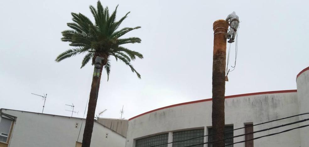 La palmera centenaria dañada por el picudo rojo tiene posibilidades de recuperarse