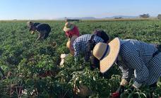 Aumenta hasta las 1.207 hectáreas la superficie de cultivo de pimiento para pimentón