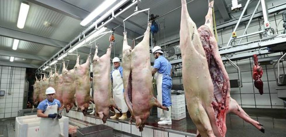 El matadero de Zafra sacrificará casi tantos cerdos como los otros 18 de la región juntos