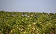 La cosecha de aceituna será mejor que la de uva y ambas afectadas por la sequía