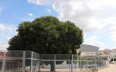 El viejo árbol de la especie Almez de la Charca será cuidado de una manera especial