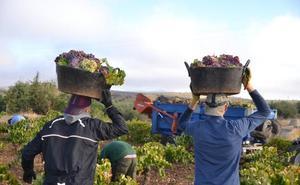 La cosecha de uvas ha sido menos abundante pero de mejor calidad que la del pasado año