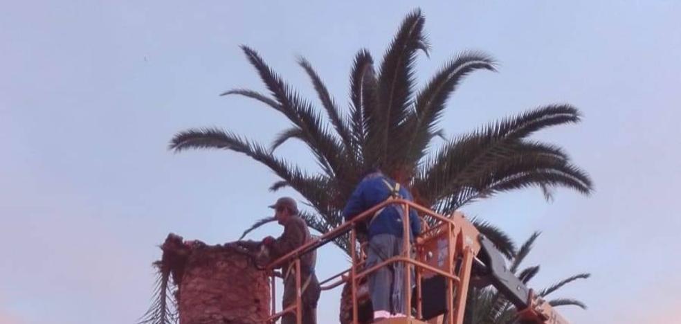 El picudo rojo está afectando a las palmeras del santuario de la Estrella