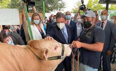 Desde ayer, y hasta el 1 de octubre, se puede visitar el ganado en la Fería Internacional Ganadera de Zafra
