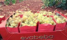 La uva de mesa Eva Beba de Los Santos sigue conquistando mercados
