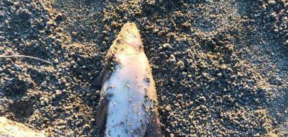 El PP acusa de dejadez al PSOE por la muerte de cientos de peces en la laguna nueva
