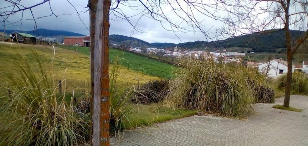 Cúriga Monesterio realiza un llamamiento para la eliminación de la planta 'plumero de la Pampa'
