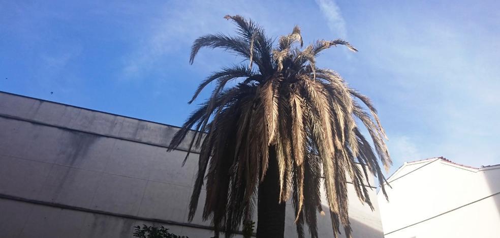 El picudo rojo ataca dos palmeras pese a haber hecho tratamiento preventivo durante seis años
