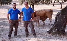 «Extremadura es una potencia en la cría de ganado vacuno»