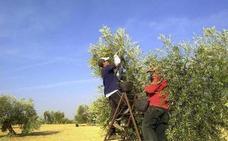 La producción de aceite en Extremadura será similar a la de la campaña anterior
