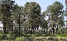 El Ayuntamiento recibirá una subvención de 250.962 euros para limpiar el Pinar