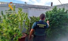Investigan a un vecino de Casatejada por cultivar marihuana en una parcela de su propiedad