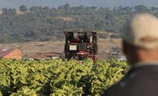 Asaja Extremadura: «El nuevo decreto arruinará a los tabaqueros y fomentará el contrabando»