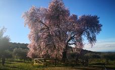 Floración del Almendro Real