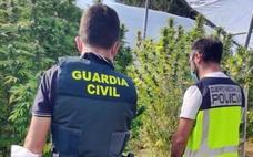 Detenida una persona de Villafranca por poseer en su parcela de San Isidro 12.600 gramos de cogollos de marihuana
