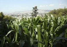 Un nuevo genoma del maíz muestra que la planta tiene amplios recursos para adaptarse