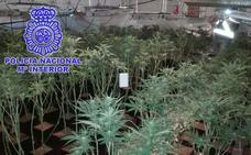 353 plantas de marihuana intervenidas y seis detenidos en Plasencia