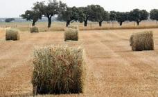 Cooperativas Agroalimentarias prevé caída del 8 % en la cosecha del cereal
