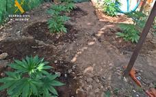 Intervienen una plantación de marihuana en una finca de Villanueva del Fresno
