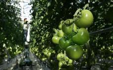 El tomate convierte las orugas en caníbales para salvarse