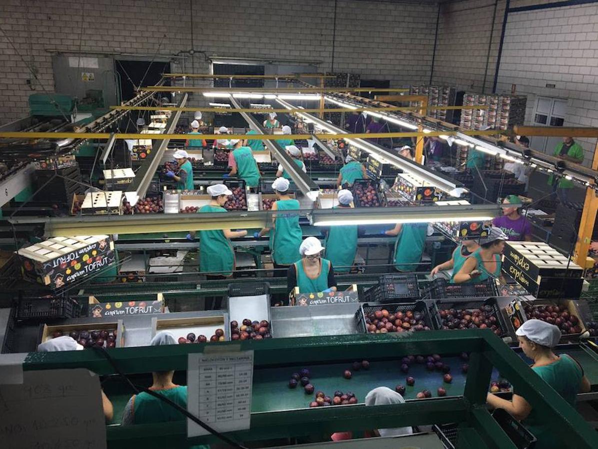 Extremadura empieza a certificar la primera ciruela con marca de calidad