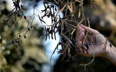 670 inspecciones para prevenir la Xylella fastidiosa en Extremadura
