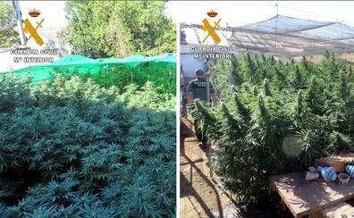 Intervenidas 106 plantas de marihuana en Arroyo de San Serván y Almendral