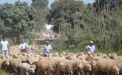 Noche en chozos y 300 ovejas en la Ruta de la Trashumancia de Monfragüe