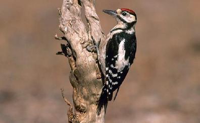 Los pájaros carpinteros 'aislan' varios pueblos de Guadalajara