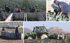 La sequía en Murcia llena de brócoli las vegas del Guadiana