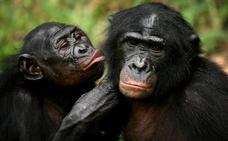 Bonobos y chimpancés no solo comparten gestos sino también su significado