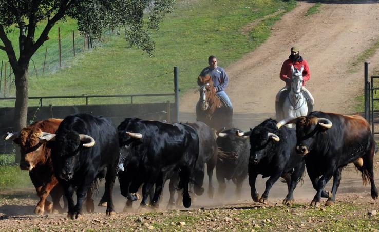 El toro bravo protege 1,4 millones de hectáreas de la dehesa extremeña