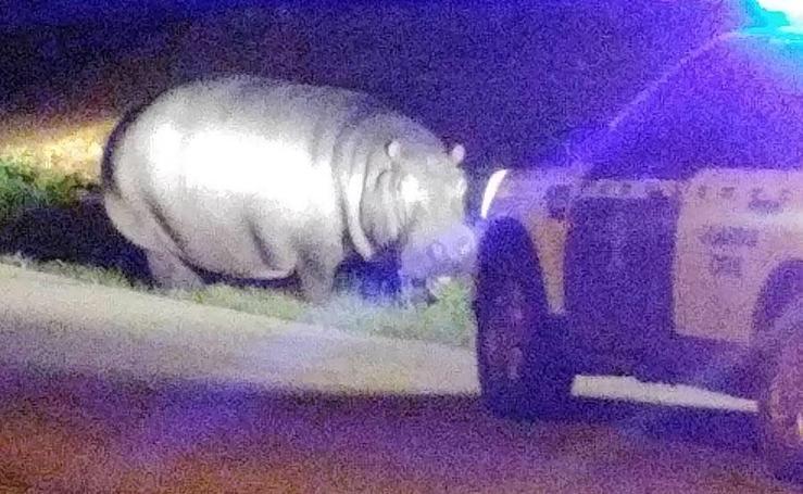 Un hipopótamo que se escapó de un circo recorre las calles de La Garrovilla