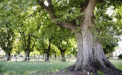 Hoy se conocerá si los olmos de Cabeza de Buey son el Árbol Europeo del Año