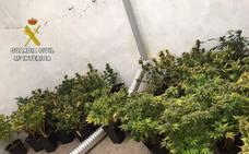 Detenido un vecino de Cáceres con 74 plantas de marihuana